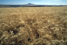 Cebada, Agricultura