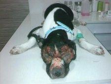 La Perra Se Recupera De Las Lesiones Sufridas Por Medicación Incorrecta