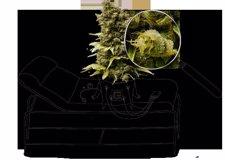 Logo Del Servicio De Análisis De Cannabis