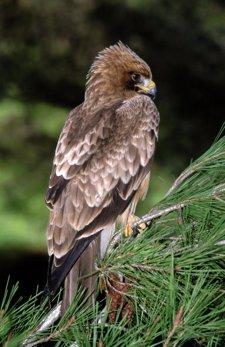 Ejemplar De Águila Calzada