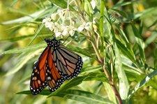 Ejemplar De Mariposa Monarca