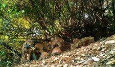 Una Imagen De Foto-Trampeo De 'Granadilla' Con Sus Cuatro Cachorros En Guarrizas
