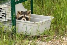 Imagen De Un Mapache, Animal Que Se Puede Encontrar En Madrid Y Guadalajara