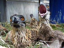 Pollos de águila pescadora.