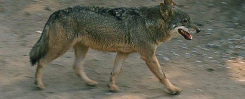 Lobo ibérico del Zoo de Barcelona