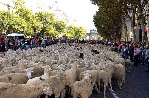 Trashumancia a su paso por Madrid.