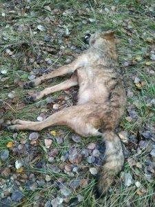 Lobo encontrado muerto en La Espina (Valladolid)
