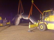 Traslado de la ballena varada en San Sebastian