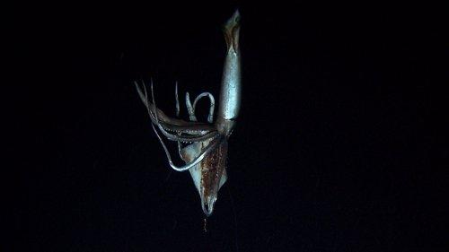 Kraken calamar gigante