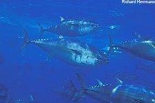 Bluefin TunaPacific Bluefin Tuna, Thunnus thynnus, 250-300 pounders schooling ne