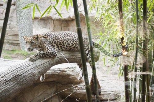 Leopardo De Sri Lanka Que Está En Biopar Fuengirola Málaga Animal Conservación