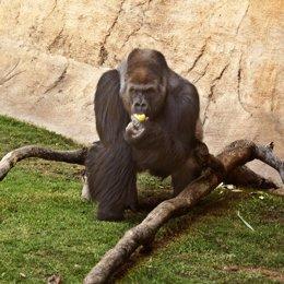Un Orangután Degusta Una Fruta