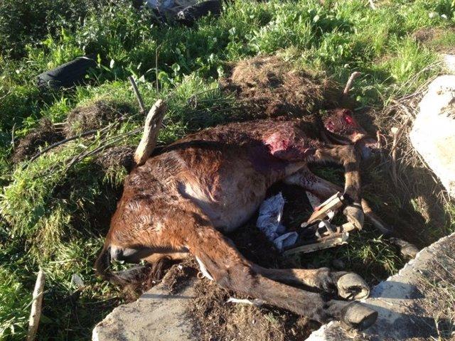 Un mulo muerto en Punta Umbría (Huelva) tras ser atacado por perros.