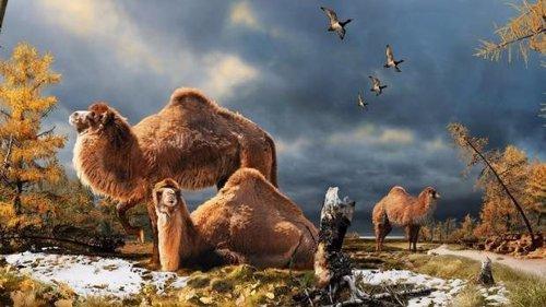 Camello ártico