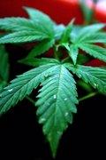 De Microsoft a crear la primera marca de marihuana de EE.UU.