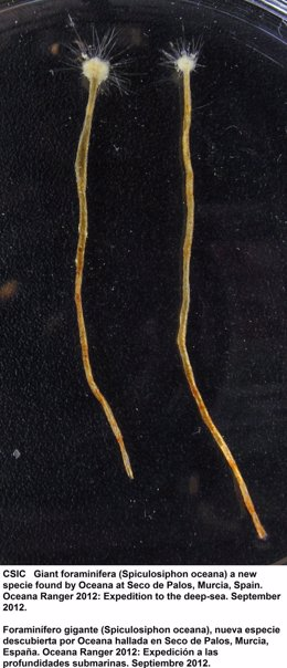 Protozoo descubierto en Murcia