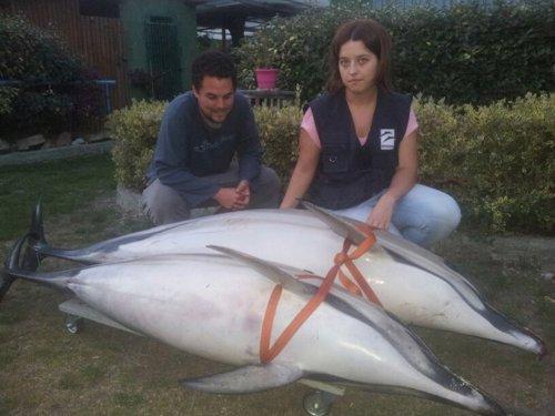 Delfines varados.