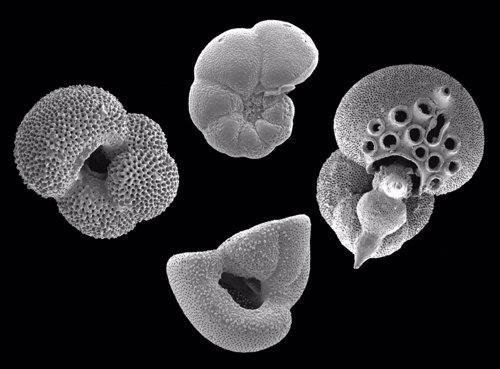Distintos ejemplares de plancton marino vistos al microscopio