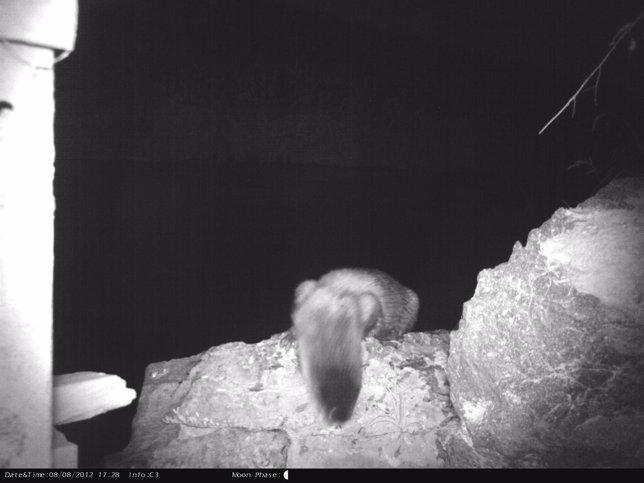 Ejemplar de nutria fotografiado de noche en la zona de Javalí Nuevo