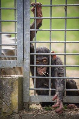 Un chimpancé en el zoo-circo de Schwaben Park (Alemania)