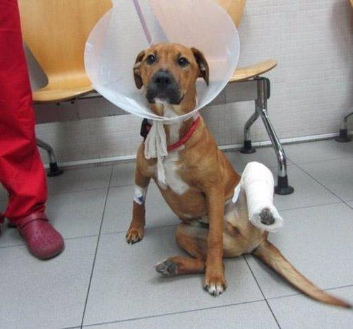 Perro abandonado en Viladecans con la pata fracturada