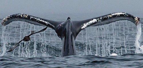 Cola de ballena y ave