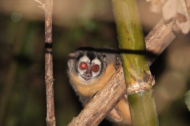 Mono nocturno de Azara