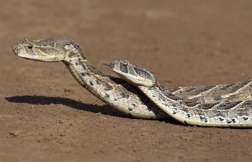 Puff adders mate in Nairobi national park