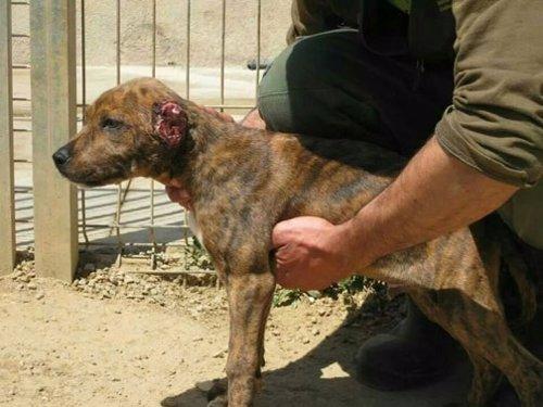 Cachorro de perro con las orejas mutiladas en Mataró