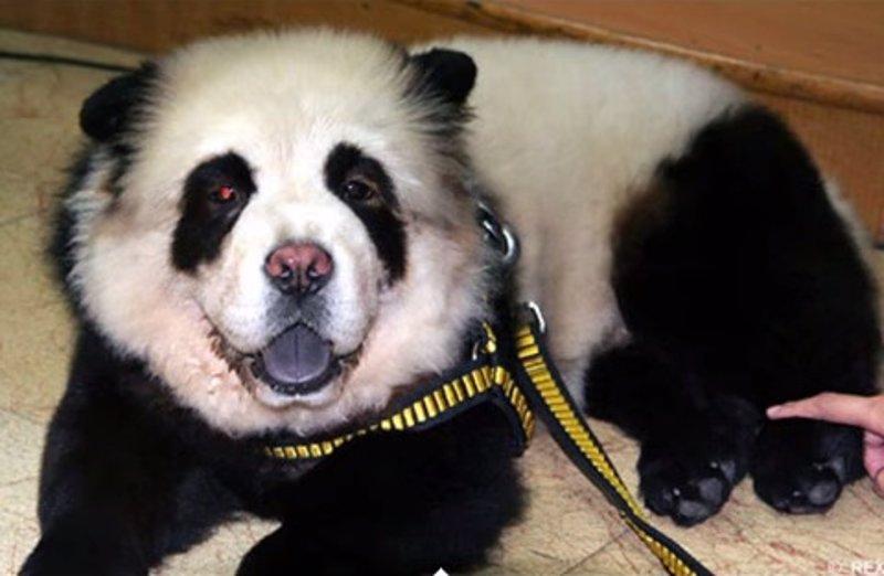 """Perros """"panda"""", la nueva moda en China"""