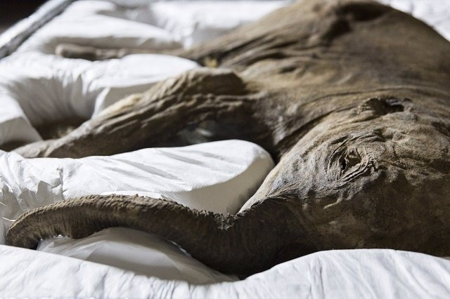 Lyuba, el mamut mejor conservado