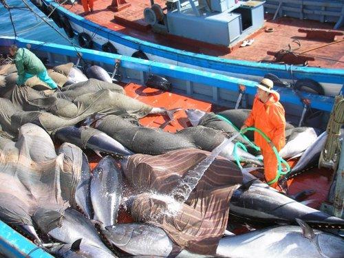 Varios ejemplares de atún rojo pescados