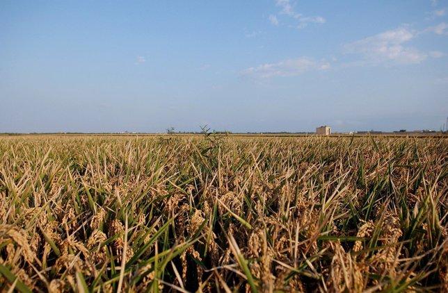 Las variedades de arroz podrán estudiarse en Cultura Valenciana
