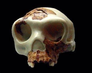 Cráneo de Homo antecessor, Atapuerca