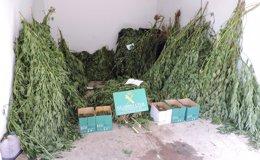 Foto: Intervenidos 132 kilos de marihuana ocultos entre otros cultivos en Tenerife (CEDIDA)
