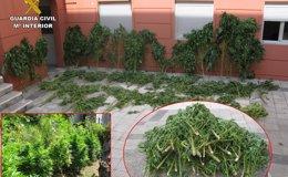 Foto: Incautan 46 plantas de marihuana en Cangas (Pontevedra) de 50 kilos e imputan a un joven de un delito contra la salud (GUARDIA CIVIL)