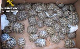 Foto: Imputado por comercializar tortugas en peligro de extinción en Argentona (Barcelona) (GUARDIA CIVIL)