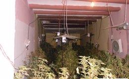 Foto: Detienen a cuatro personas por cultivar 67 plantas de marihuana en Lleida (MOSSOS D'ESQUADRA)
