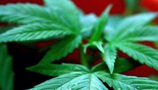 Uruguai començarà a comercialitzar marihuana en farmàcies el 2015
