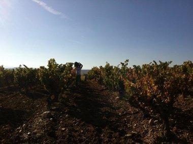 """Foto: La vendimia 2014 concluye en Rioja """"con más cantidad y calidad que la cosecha anterior"""" (CVNE)"""