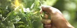 Foto: Guatemala exporta nuevos productos agrícolas a EEUU, como flores comestibles (YOUTUBE)