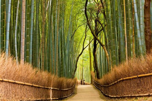 Los bambús de Sagano en Japón