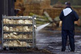 Foto: Detectado un segundo caso de ave salvaje gripe aviar H5N8 en Alemania (REUTERS)