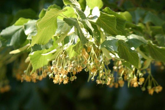 Descubren ansiolíticos en varias plantas mexicanas