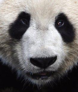 Foto: Animales en peligro de extinción: el oso panda (RUSSELL CHEYNE / REUTERS)