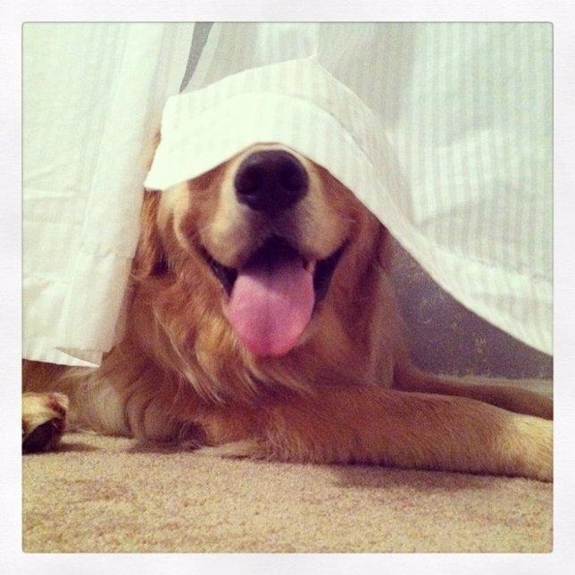 Perros que creen dominar la técnica del escondite