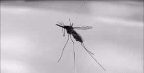 Foto: La transmisión del paludismo, ligada a la biología sexual de los mosquitos (NIAID/FLICKR)