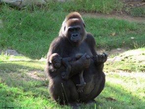 Foto: La mitad de los grupos de virus del sida conocidos se originaron en los gorilas (TOMAS MARQUES)
