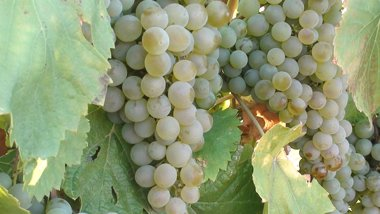 Foto: Agricultura adjudica 1.150 hectáreas de derechos de plantación de viñedo (EUROPA PRESS/DORUEDA)