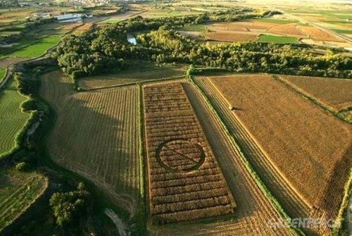 Campo de maíz transgénico